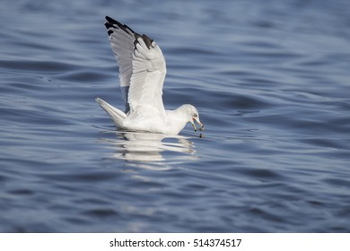 Fishing herring gull