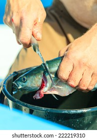 Fishing - man angler cleaning preparing fish aboard boat, outdoors. Cruelty to animals.