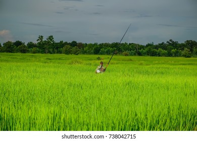Fishing man in rice field In the rural  of the country, Thailand