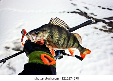 Fishing On Jig. Perch on the hook in the hand of angler above the water.