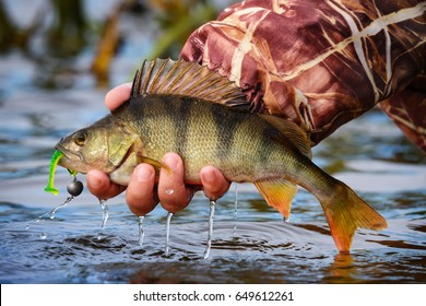 Fishing On Jig. Perch on the hook in the hand of angler above the water. Large striped bass with hook in the mouth and drops of running water in the fisherman's hand.Fishing trophies, caught on a jig