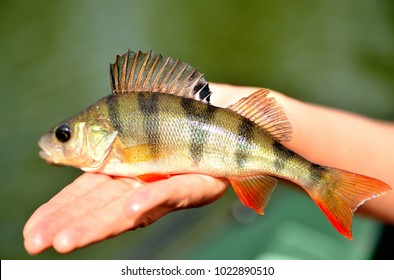 Fishing. A perch in hand against a background of water on a sunny summer day