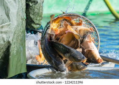 Fishing pond - sorting fish carp and other fish