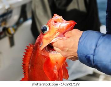 Fishing Redfish in Greenland, Nuuk fjord