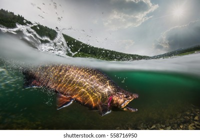 Fishing. Trout, underwater view.