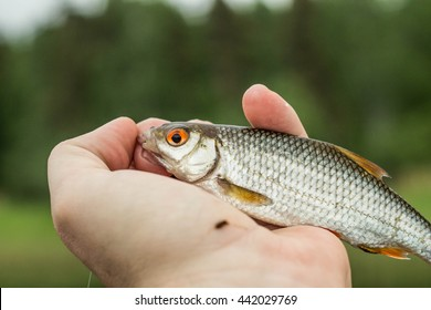fishing,fish roach in the hand of angler at shore