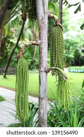 Fishtail Palm, Wart Fishtail Palm in forest, thailand