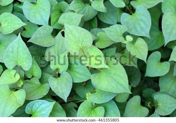 fishy-smell herb (Houttuynia cordata) in Japan