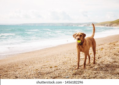 A fit and healthy labrador retriever dog standing on a deserted Cornish beach where dogs are allowed playing with a ball and a coffee space