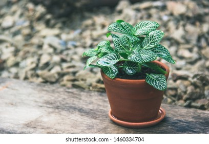 Fittonia in clay pot. Fittonia Mosaic plant. Fittonia copy space.