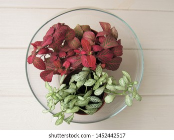 Fittonia in a glass vase. Home plants with pink and green leaves. Floriculture.