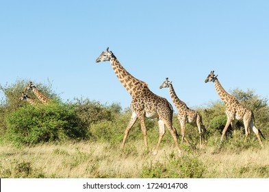 Five 5 Masai giraffes (Giraffa Camelopardalis Tippelskirchii) walking together in Maasai Mara National Reserve, Kenya