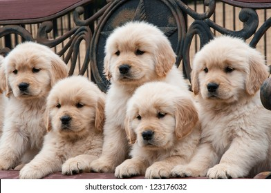 Five 8-week-old Golden Retriever litter mates sitting in a wooden bench