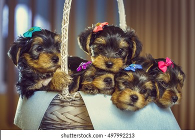 Five adorable little Yorkshire terrier dog puppies with head fur tied with colorful bows resting in a basket. Shallow depth of field.