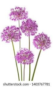 Five allium flowers isolated on white background