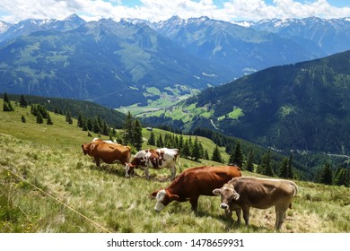 Five alpine cows on the range with view on valley with small village, fields, and high mountains.