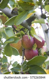 Five apples on the tree in close up
