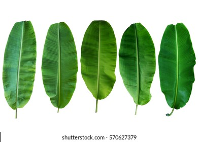 Five Banana Leaf Isolated On White