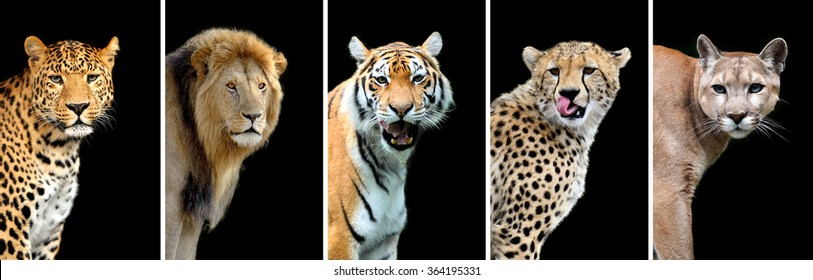 Five big wild cats (leopard, tiger, lion, cheetah, puma)