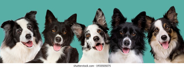 five border collie dog portrait looking at camera in front of a green blue background