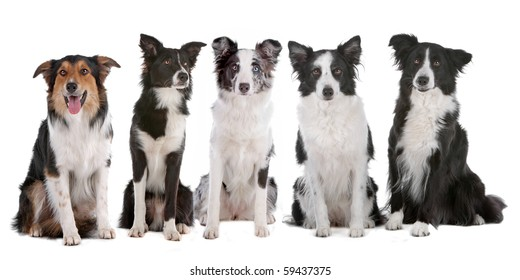five border collie dogs isolated on a white background