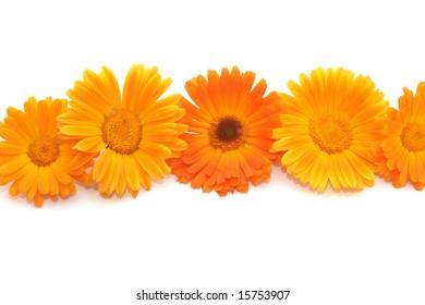 Five bright orange flowers of calendula on a light background.