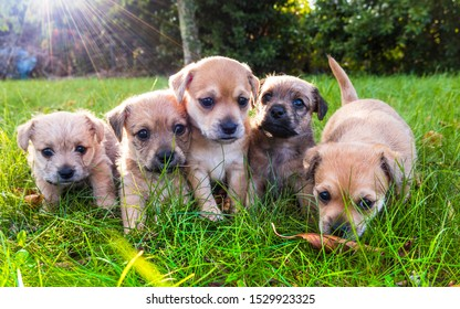 Five brown puppies playing in the grass
