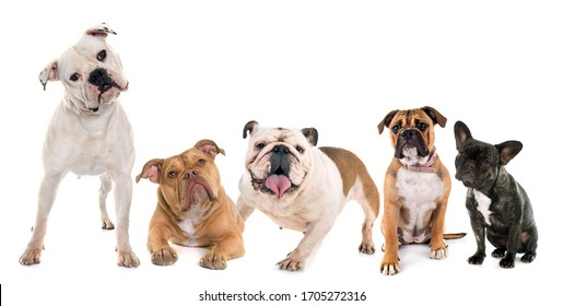 five bulldogs in front of white background