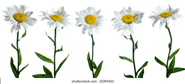 Five camomile flowers on white background