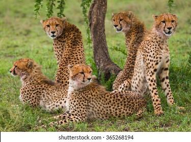 Five cheetahs in the savannah. Kenya. Tanzania. Africa. National Park. Serengeti. Maasai Mara. An excellent illustration.