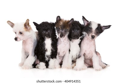 five chinese crested puppies posing on white