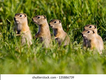 Five Colorado Prairie Dogs