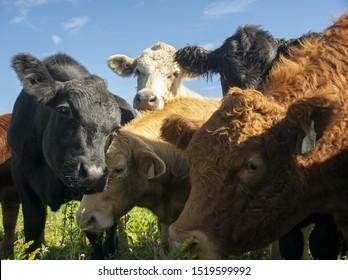five cows in a field