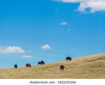 Five cows go eating on the mountain in the blue sky day