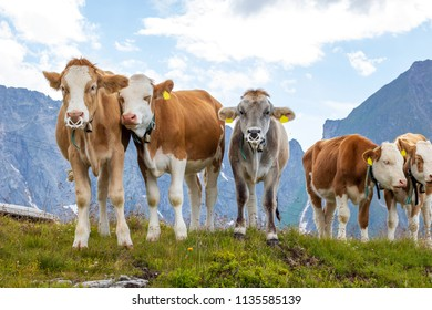 Five cows looking in the cam in the austrian alps on a green meadow with cloudy sky