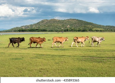 five cows walk in grass field at farm with mountain background in sunny day clouds and blue sky after grazing glasss