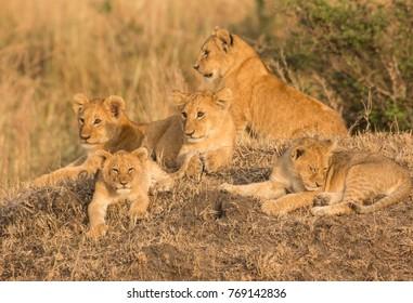 Five cute lion cubs