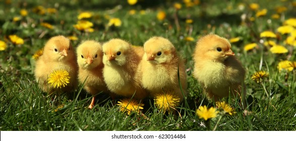 Five cute yellow chicks in colorful dandelion meadow
