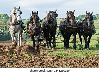 Five Draft Horses in Amish Country Ohio. They are pulling a plow.