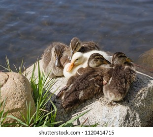 five ducklings sitting together on a rock next to a pond