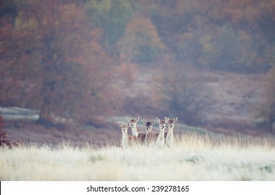 five fallow deer on a frosty morning