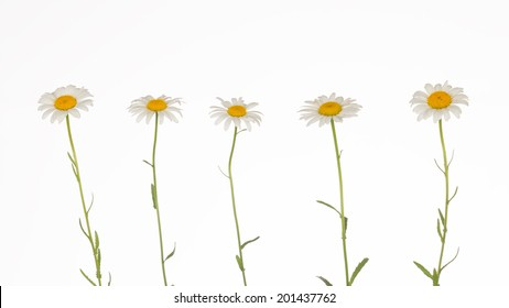five fragile, gentle chamomile on white background