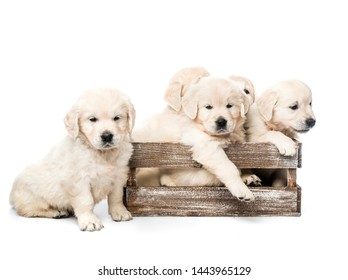 Five funny golden retriever puppies in basket together isolated on white background