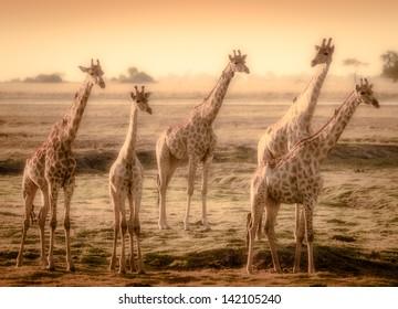 five giraffes in delta