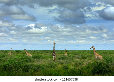 Five giraffes in green vegetation with beautiful sky with clouds. Wildlife scene from nature. Evening light in the forest, Botswana, Africa.