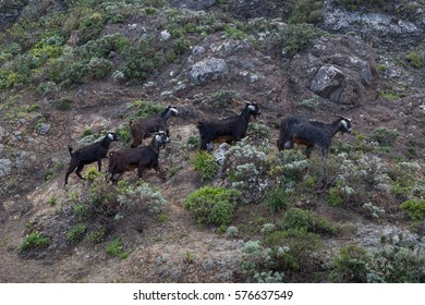 Five goats in the Anaga mountains on tenerife