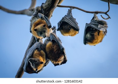 Five Grey headed flying foxes hanging in a tree