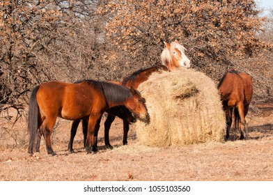 Five horses eating hay off of a large round bale in winter