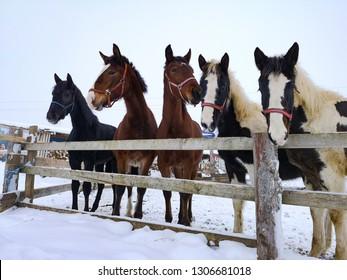 five horses in winter
