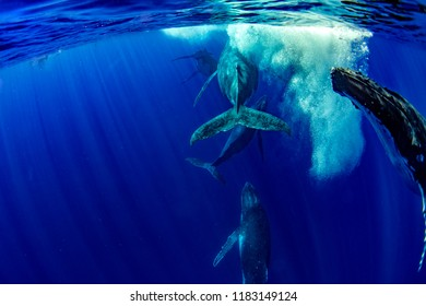 five Humpback whale underwater in pacific ocean Moorea French Polynesia